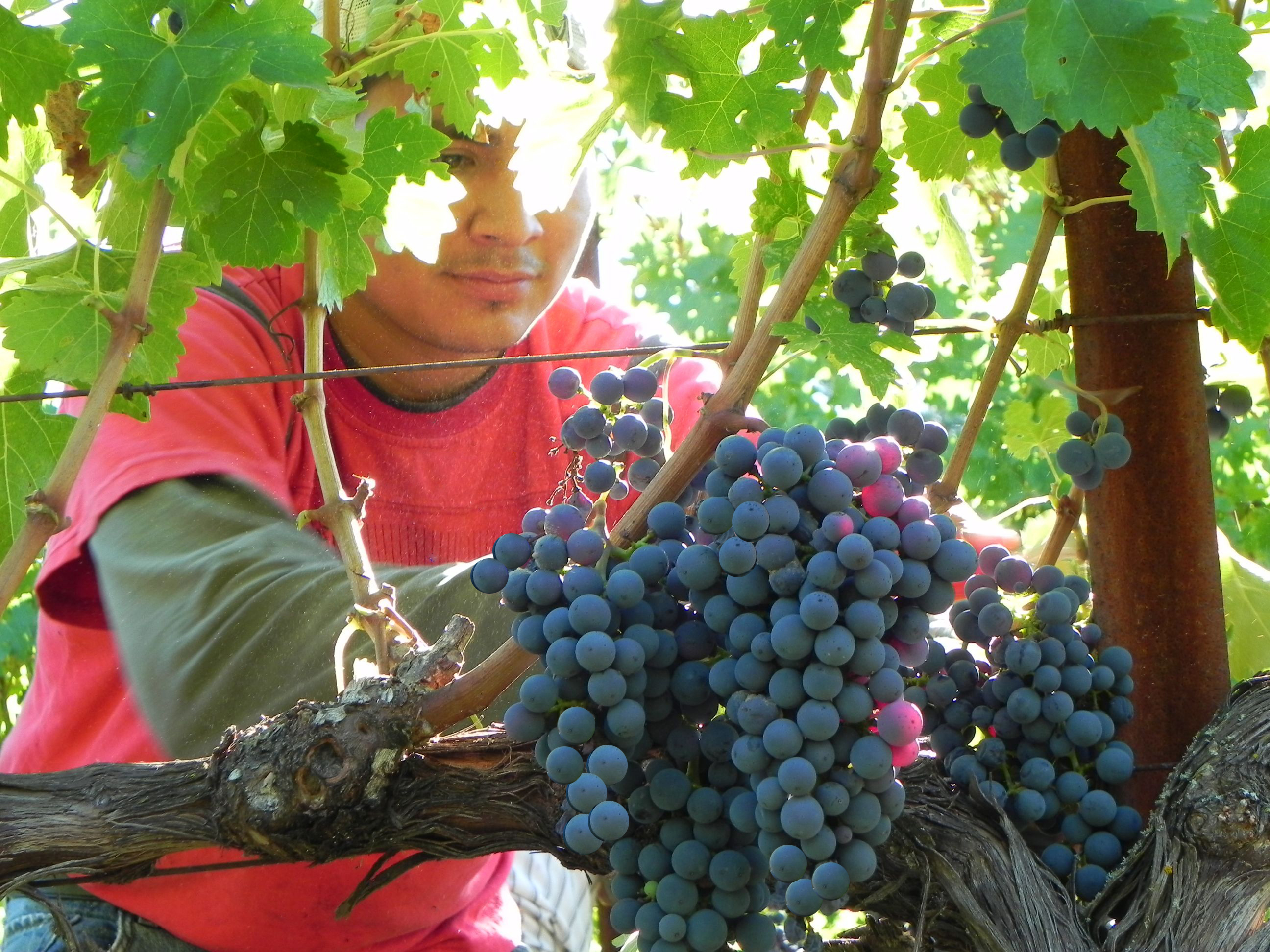picking-grapes.jpg